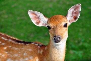 10538298 - the sika deer is one of the few deer species that does not lose its spots upon reaching maturity.